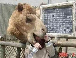 Du kan sikkert svelge mange kameler, men klarer kamelen å svelge deg?