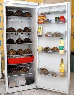 Skilpaddene er ikke kravstore og tar til takke med et kjøleskap som hus.