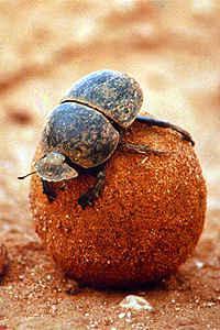 Scarabaeidae.jpg