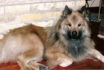 Eurasier-et-the-et.jpg