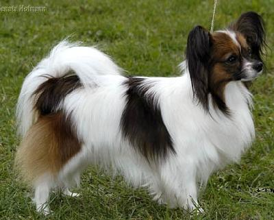 Papillon-is-more-beatiful.jpg