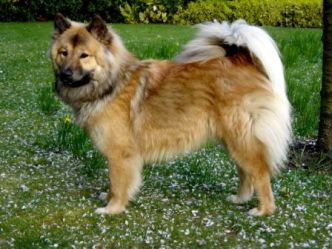 Eurasier-dog-with-flower.jpg
