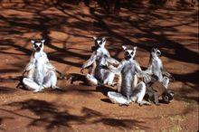Lemurídeos meditando