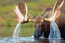 Alces costumam ter alguns problemas para beber água.