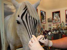 Veterinário criando uma zebra
