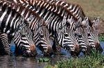Zebras-Tanzania.jpg