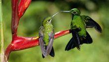 Beija-Flor macho questiona fêmea sobre teoria do renascimento do tic tic tac do seu coração.