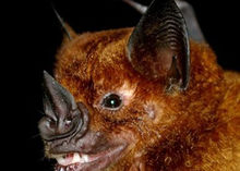 Um morcego com uma folha esturricada preta no lugar do nariz