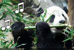 Pandaflauta.jpg