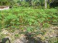Plantação de maconha.jpg