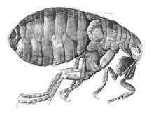 A estrutura de uma pulga. Eita bundão!