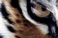 Tigermaster olho.jpg