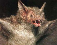 Morcego, o rato super desenvolvido.