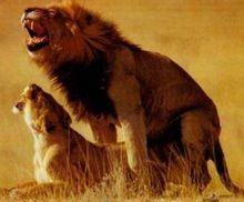 Leão macho fazendo o que mais sabe fazer, pois quem vai atrás de comida é sempre a fêmea.