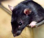 Rato-dante.jpg