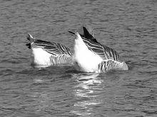 Exemplo de gansos se afogando