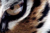 Tigermaster olho2.jpg