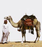Arabian Camel.jpg