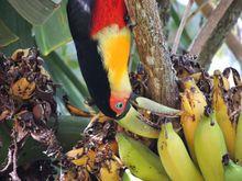 Tucano engolindo uma banana inteira
