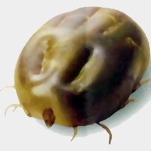 Carrapato-bunda-gigante