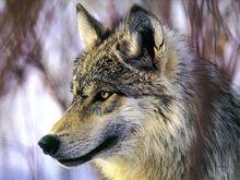 Lobo compenetrado, escolhendo a próxima vítima a ser sodomizada.