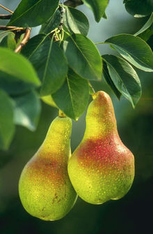 Duas peras vermelhas de raiva por serem gordinhas, e verdes de inveja ao verem que a banana é magrinha