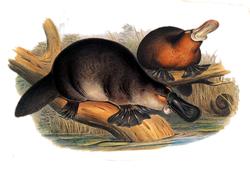 Gould John Duckbilled Platypus 1845-1863.png