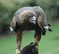Aguia-animal.jpg