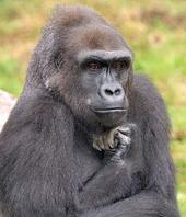Gorilapensa.jpg