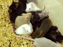 Orgia depravada de roedores