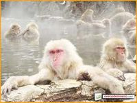 Macacosdoartico.jpg