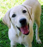 Labrador1.jpg