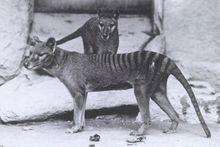 Pintaram listras num cachorro, e quando ele morreu acreditaram que foi uma espécie extinta