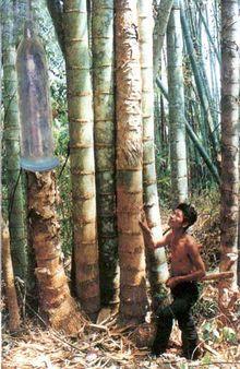O grandiosíssimo bambu causando admiração na população nativa chinesa, que não está acostumada com tamanha tora.