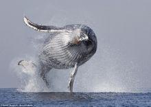 Uma baleia alçando voo.
