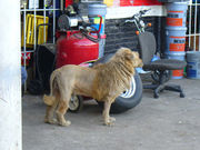 Fake lion dog1.jpg