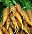 CarrotGang.jpg
