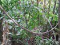 Rattan in tropical rainforest.jpg