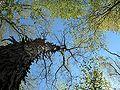 Shagbark hickory tree.jpg