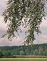 Birch branches 2.jpg