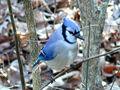 800px-Blue Jay-27527.jpg