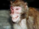 Monkeychew.jpg