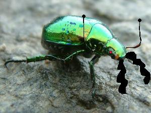 Green-beetle.jpg