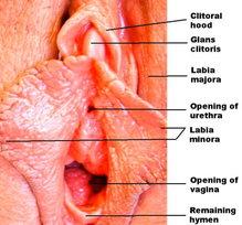 Plural of clitorus