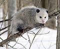 730px-Opossum 2.jpg