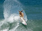 Mula surfista.jpg