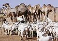 Gaots and camels.jpg