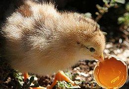 En ung kylling som kysser sin mye yngre bror.