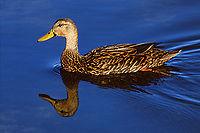 Dutch duck.jpg