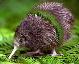 Kiwi oncyclopedia for Nep fruit waar te koop